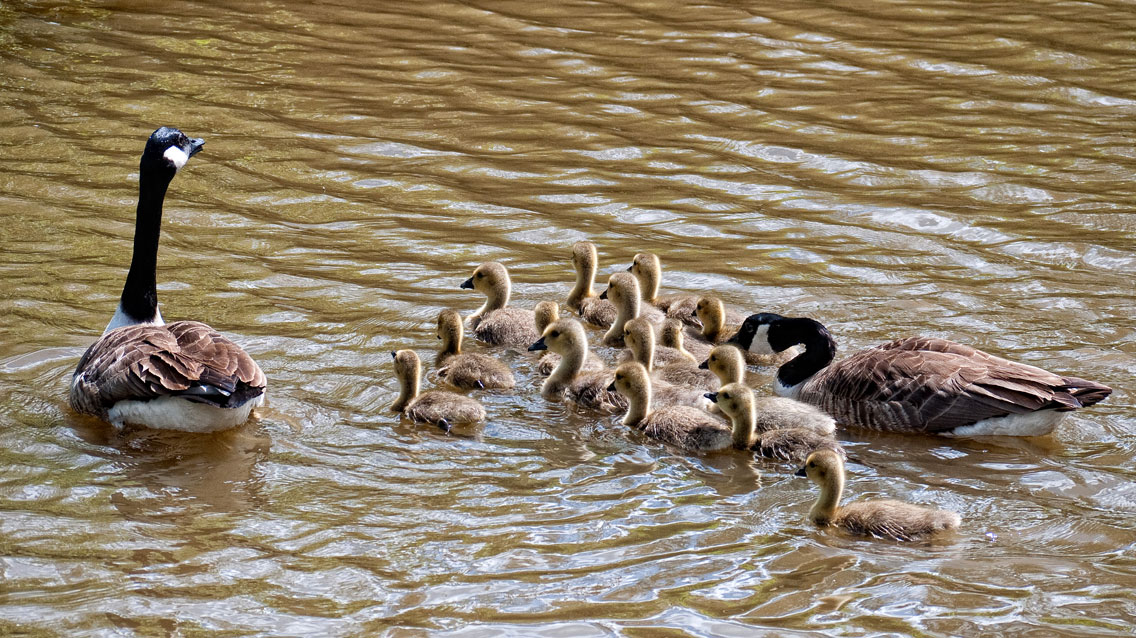 A gaggle of goslings - is that the correct term?