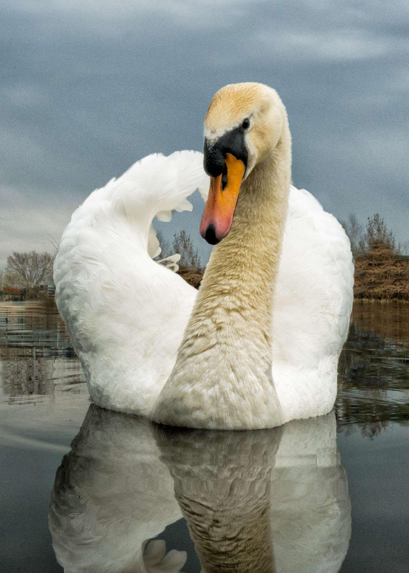 Swan by Barry Teutenberg