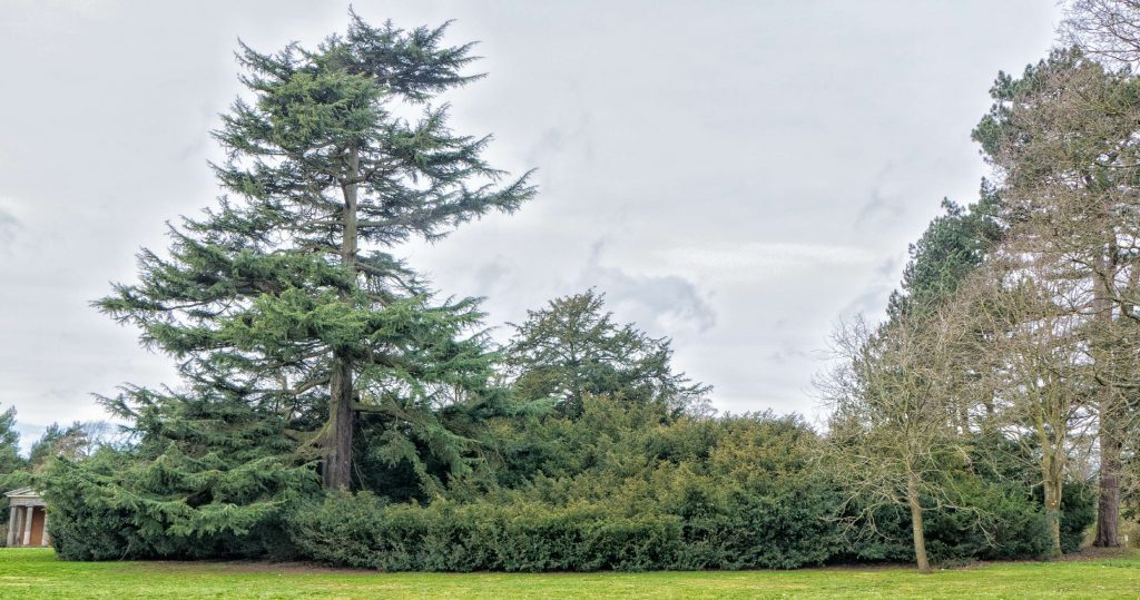 Yew Tree at Shugborough