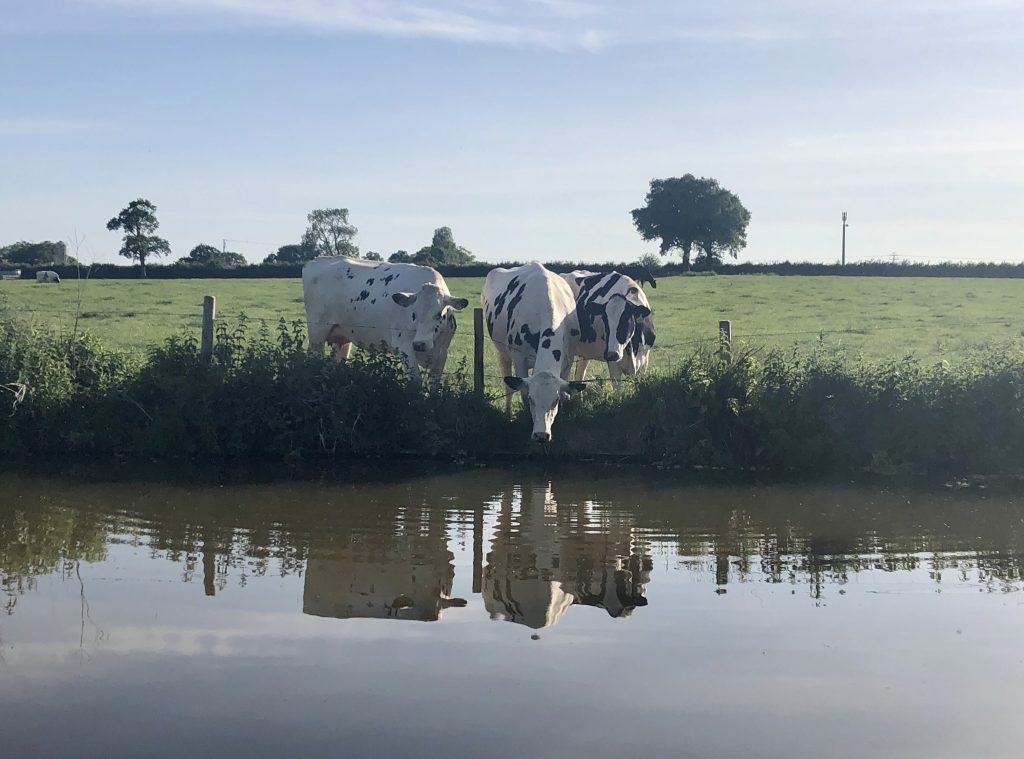Cows by the canal