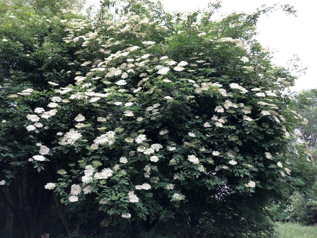 Elderflower bush